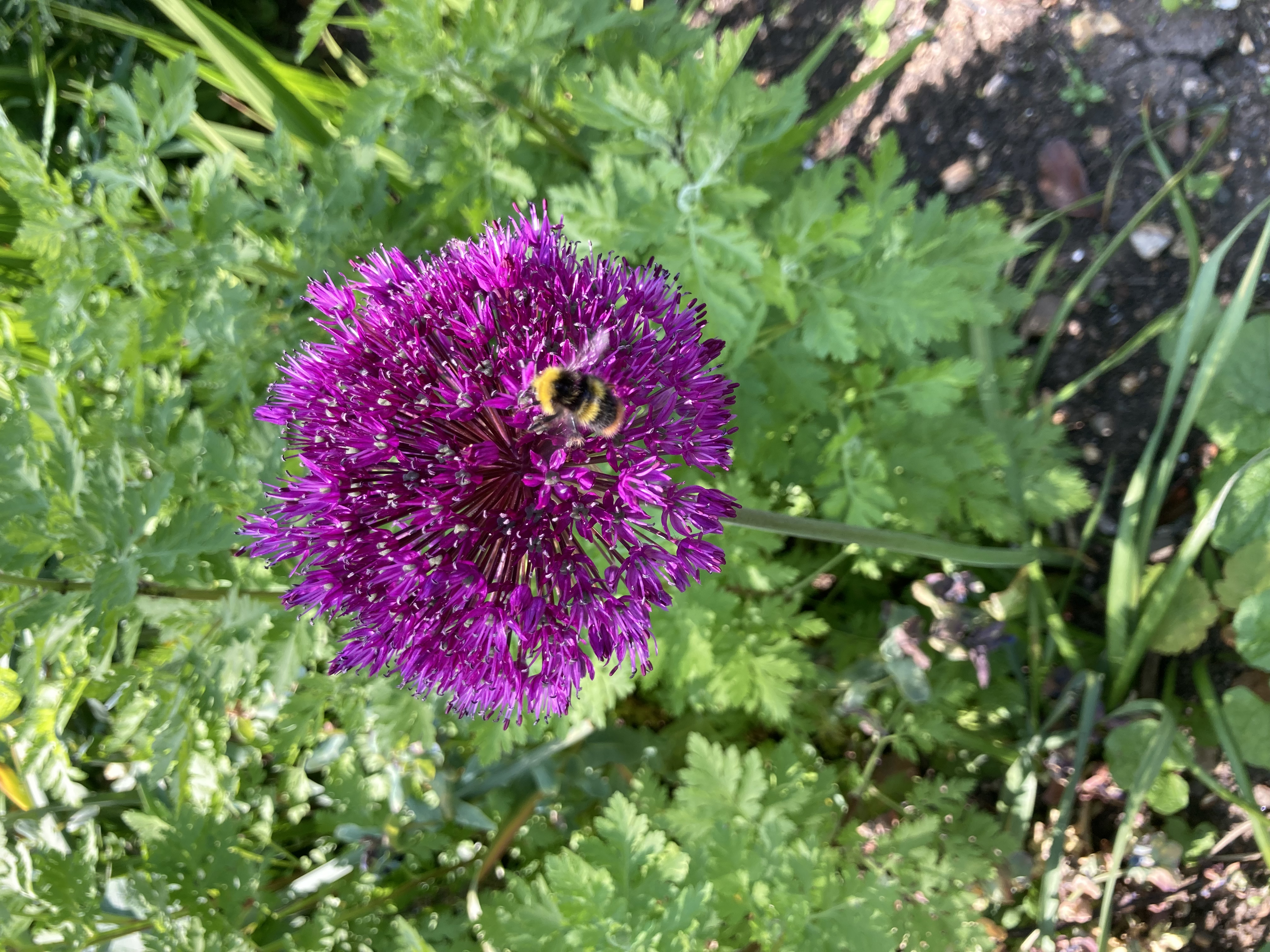 A bee enjoys our Bee friendly garden
